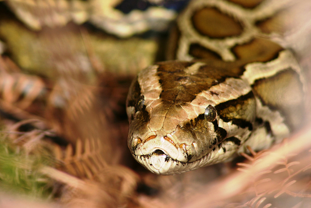 Experts say invasive pythons hold a key COVID-19 vaccine ingredient