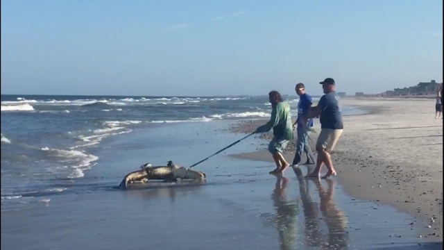 Gator reeled in after being spotted on amelia island beach for Amelia island fishing